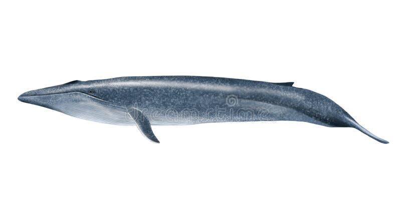 Blue whale. Digital illustration of a blue whale
