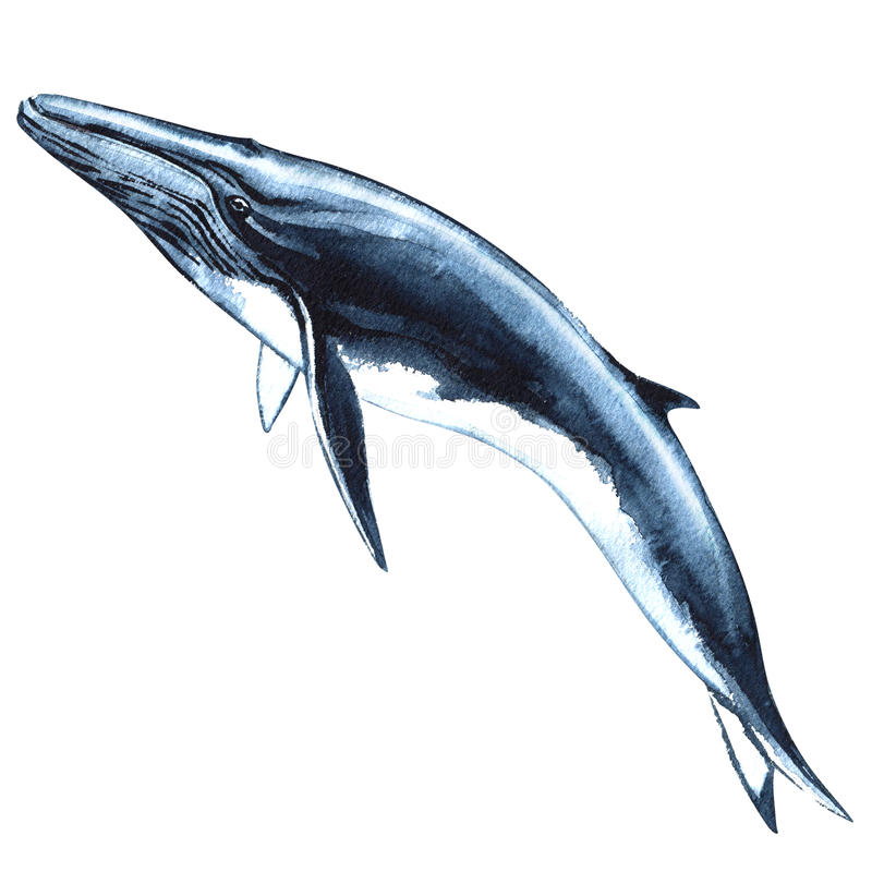 Blue whale isolated on white background stock illustration