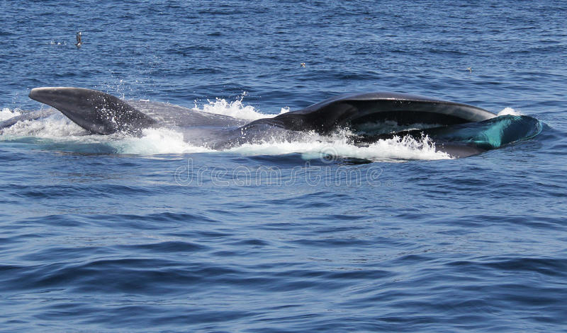 Blue Whale Surface Feeding on Krill. A giant blue whale feasts on krill in the Pacific Ocean near San Diego royalty free stock images