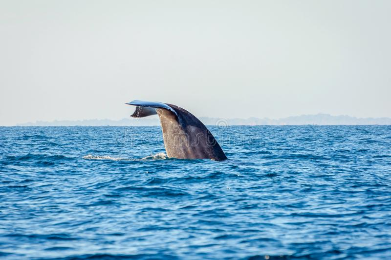 Blue whale tail stock photo