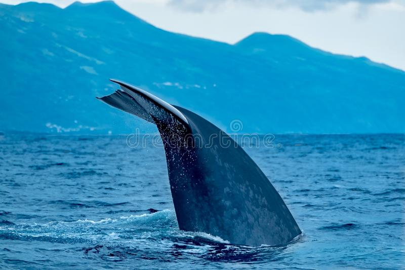 Blue whale tail flukes royalty free stock image