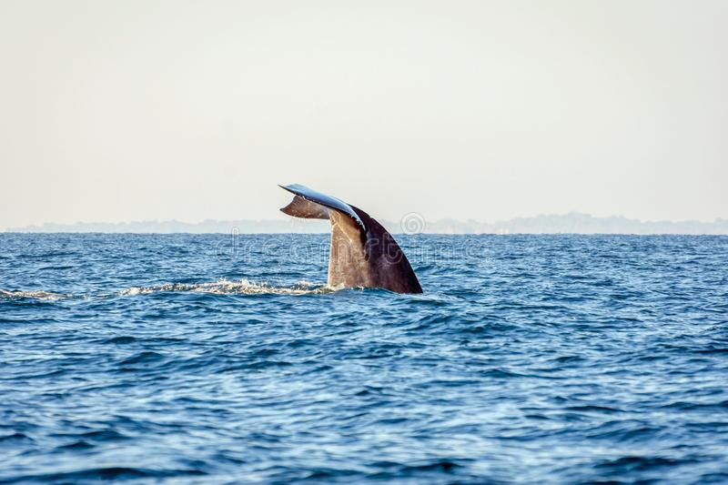 Blue whale tail stock image