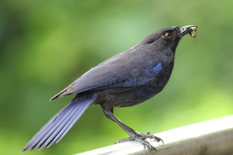 Download Blue Whistling Thrush stock photo. Image of freedom, plumage - 9355024