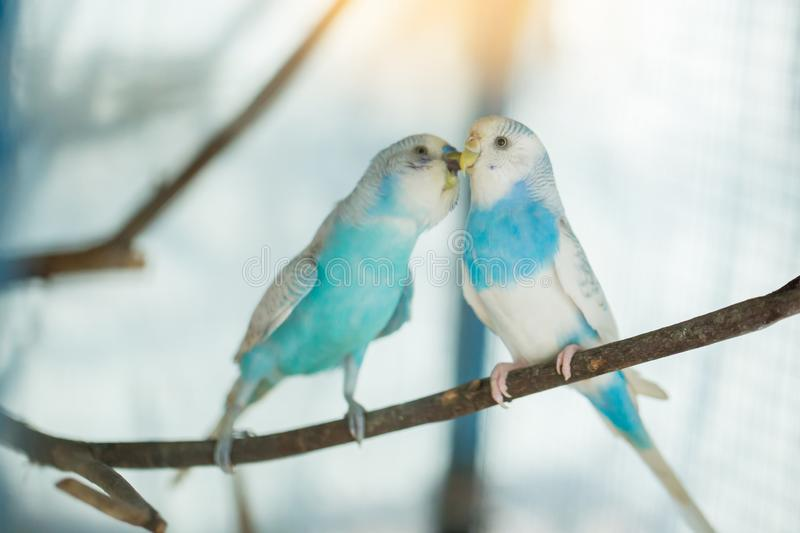 Blue and white budgerigar parrot close up sits on tree branch royalty free stock photography