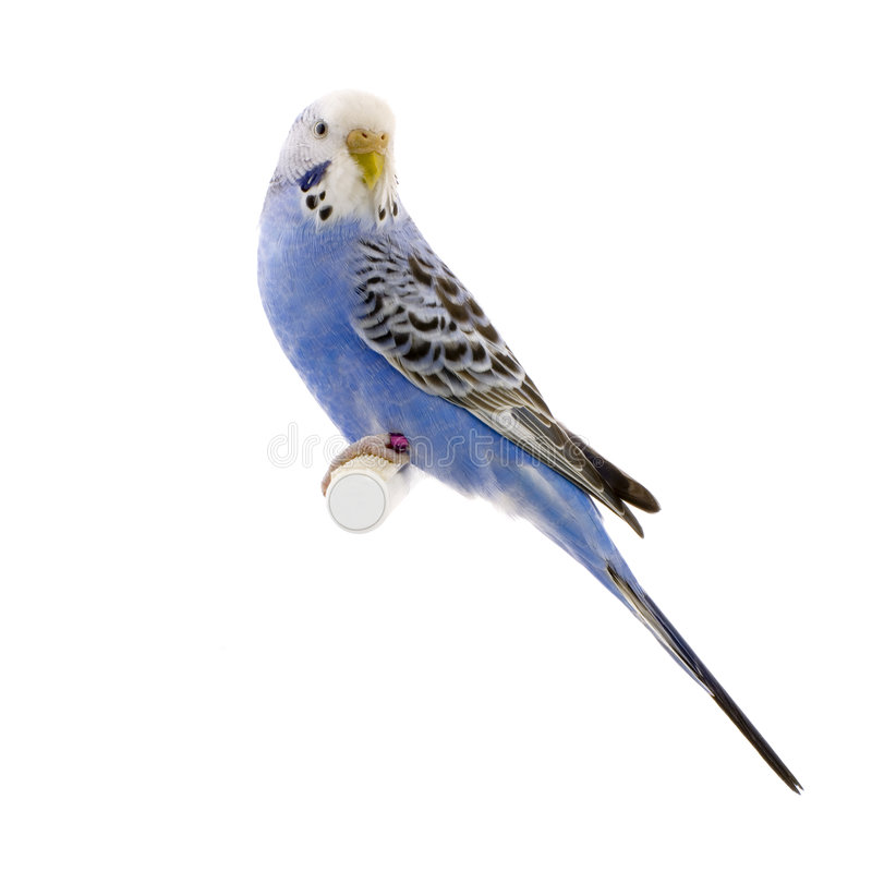 Blue and white budgie royalty free stock images
