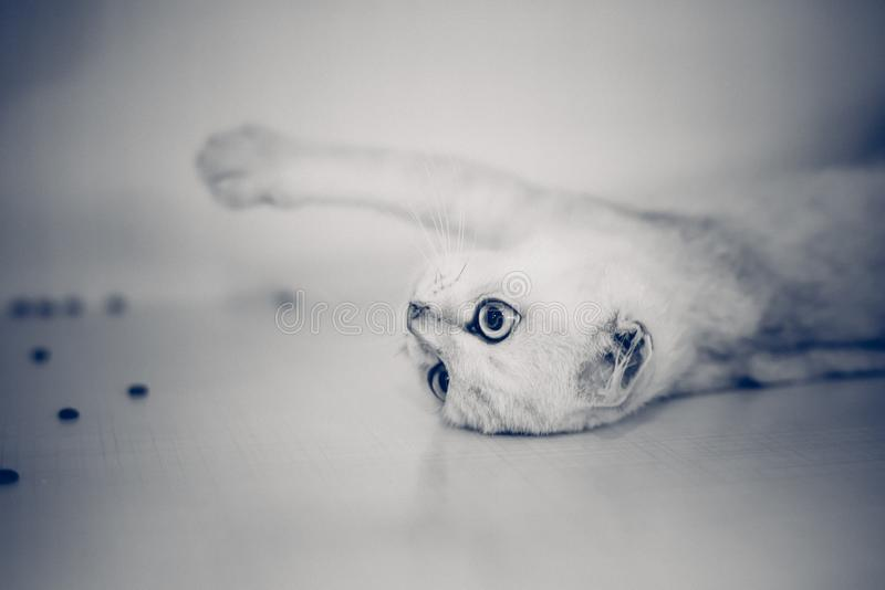 Blue, White, Cat, Close Up royalty free stock image