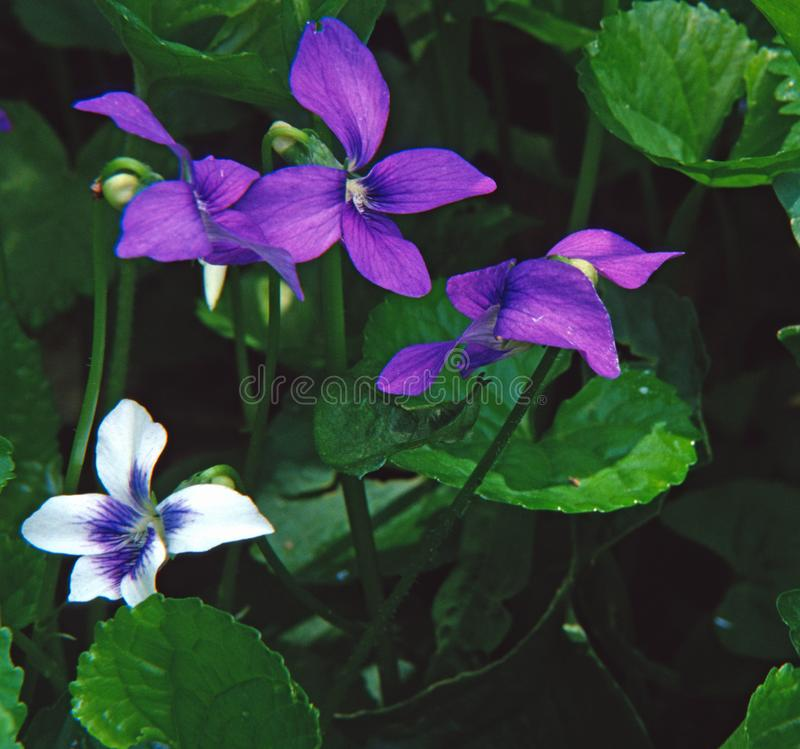 Blue and white common violets shine in their woodland setting royalty free stock images