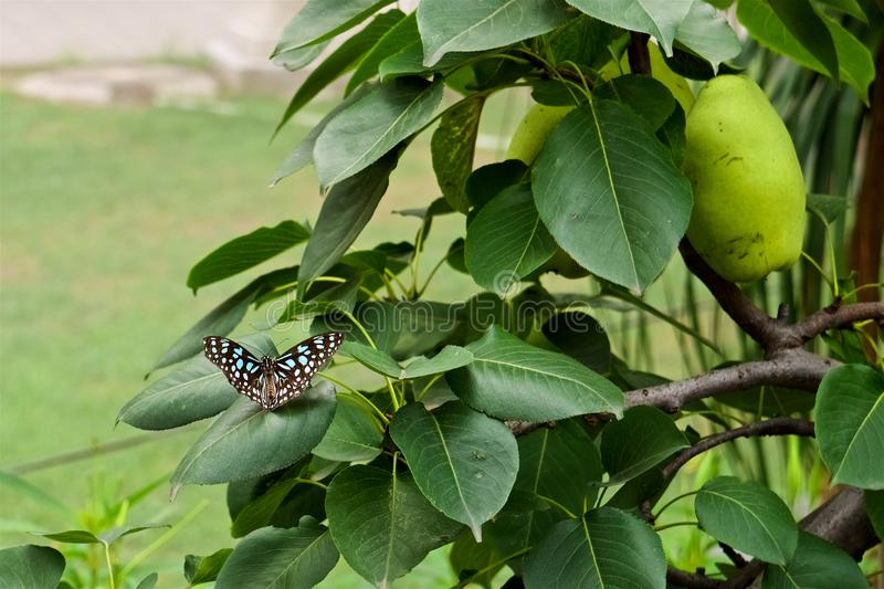 A blue and white dots butterfly sits on the leaves stock image