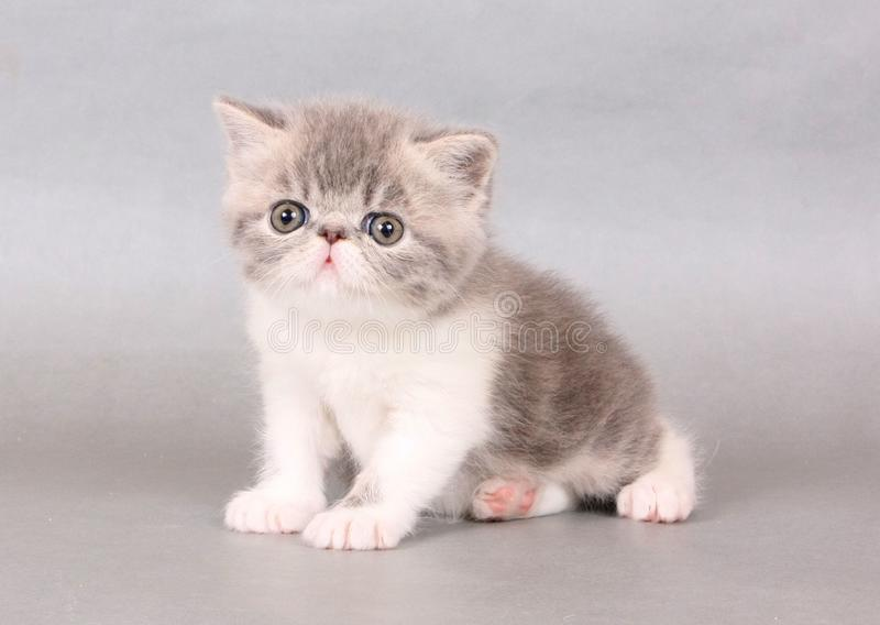 Blue and white exotic shorthair male royalty free stock photos