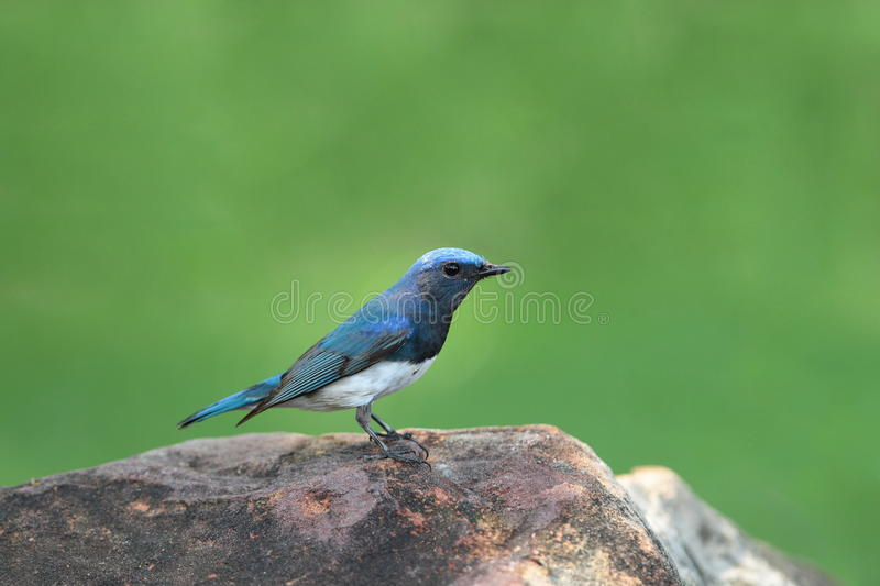 Download Blue-and-white Flycatcher stock photo. Image of bird - 20872494