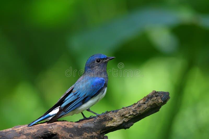 Blue-and-white Flycatcher, Cyanoptila cyanomelana stock images