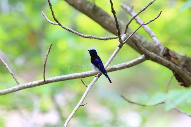 Blue-and-white flycatcher. Cyanoptila cyanomelana male in Japan royalty free stock photography