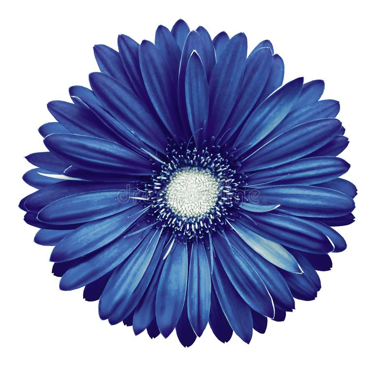 Blue-white gerbera flower, white isolated background with clipping path. Closeup. no shadows. For design. royalty free stock photos