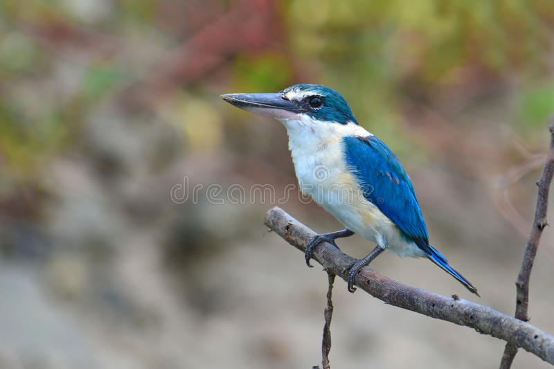 Blue and white Kingfisher. Collared kingfisher Todiramphus sanctus perching on a branch stock photography