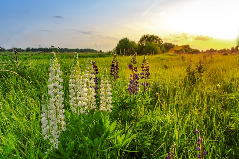 Blue and white lupine flowers on sunset. Summer time stock photo