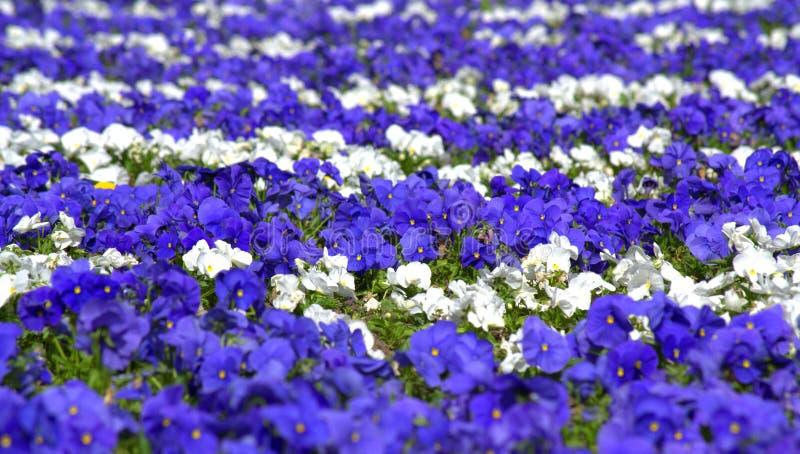 Blue white pansy flowers stock image image of garden 70008871 download blue white pansy flowers stock image image of garden 70008871 mightylinksfo