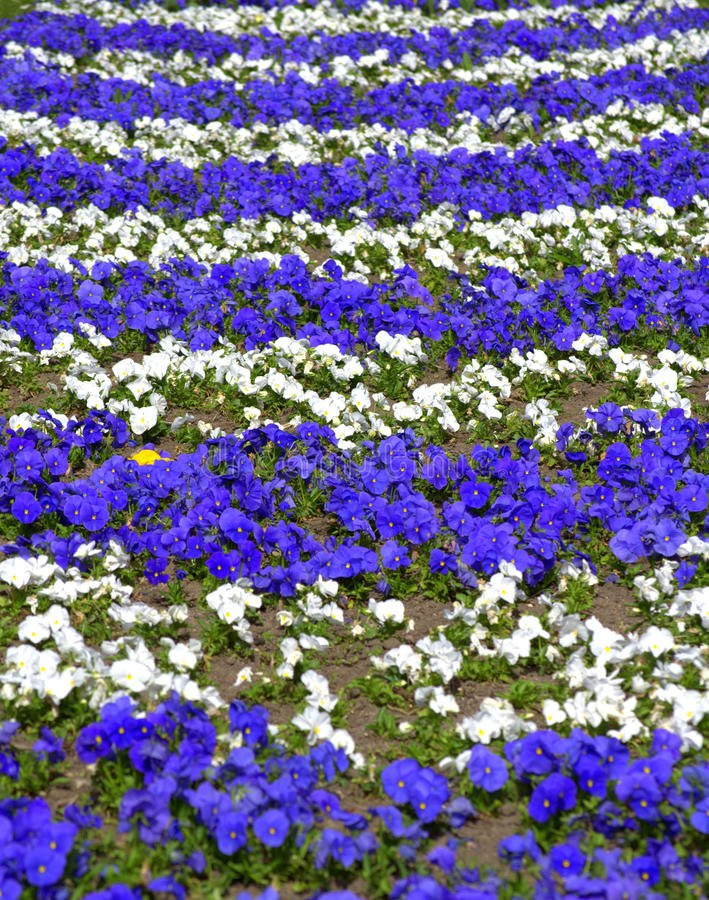 Blue white pansy flowers stock image image of ornamental 70008895 download blue white pansy flowers stock image image of ornamental 70008895 mightylinksfo