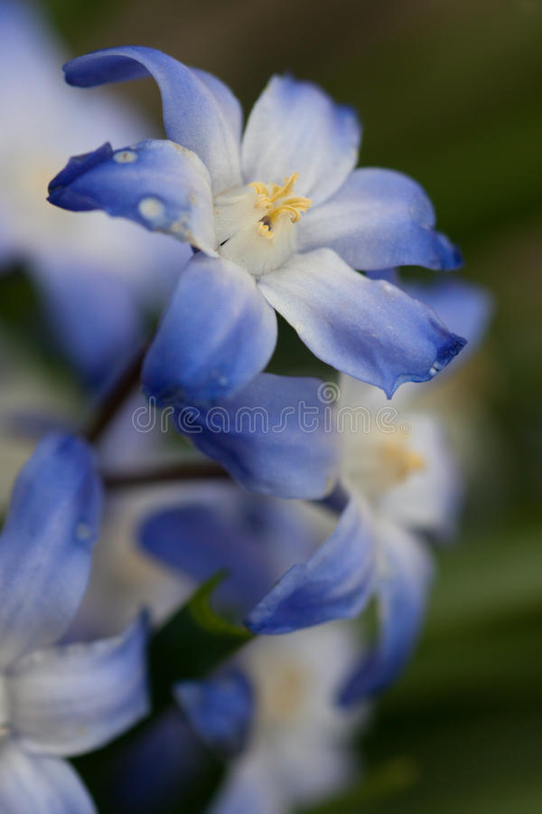 Blue and white spring flowers stock image image of botany first download blue and white spring flowers stock image image of botany first 15312839 mightylinksfo