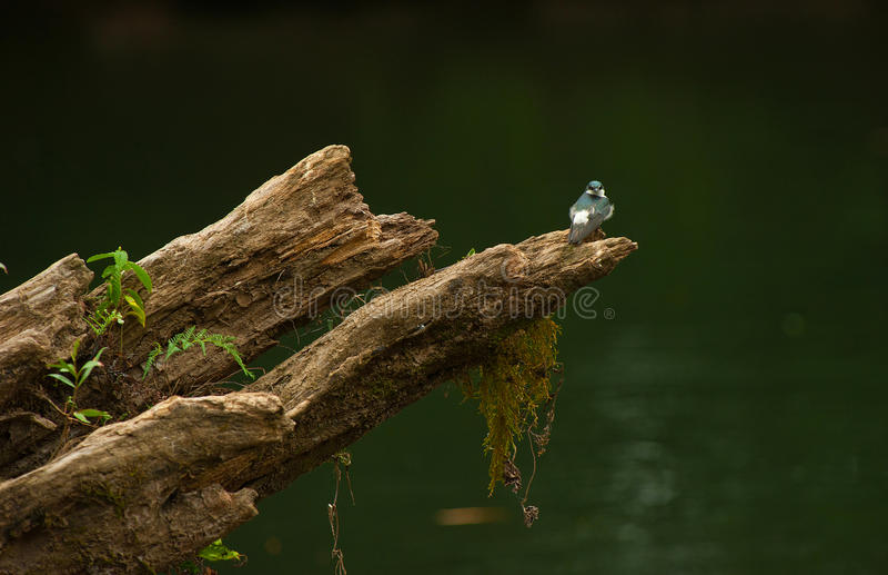 Blue-and-white swallow, Notiochelidon cyanoleuca stock image