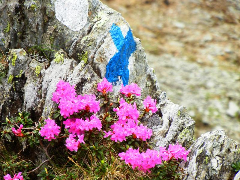 Tourist mark on a rock in the mountains surrounded by pink flowers. Blue and white tourist mark on a rock in Fagaras mountains in Romania. The rock is partly stock photo