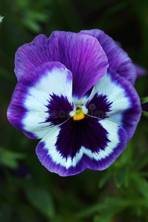 Blue-and-white violet Viola big flower with yellow heart. Violets of flowers are in about four hundred varieties and colors royalty free stock photography