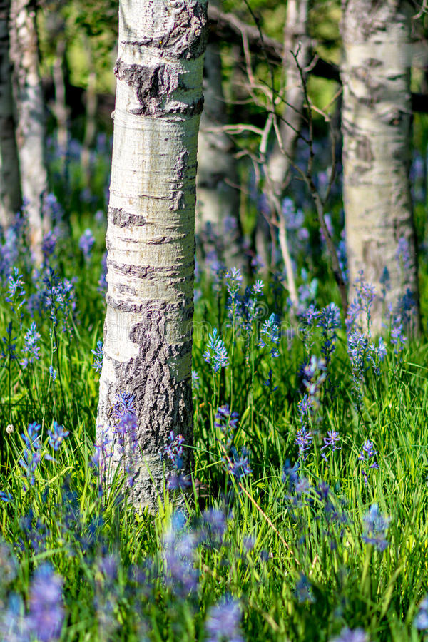 Blue wild flowers in a grove of aspen trees stock photo - Flowers that grow on tree trunks ...