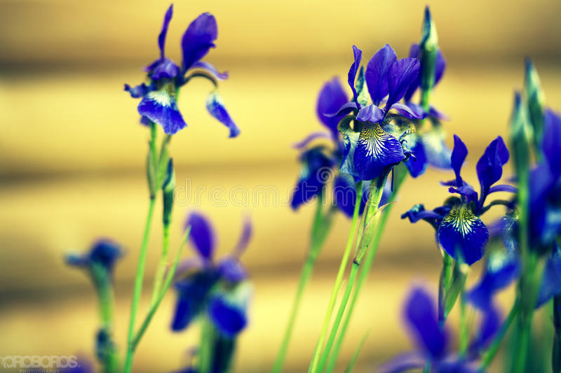 Blue wild flowers on yellow background. royalty free stock photo