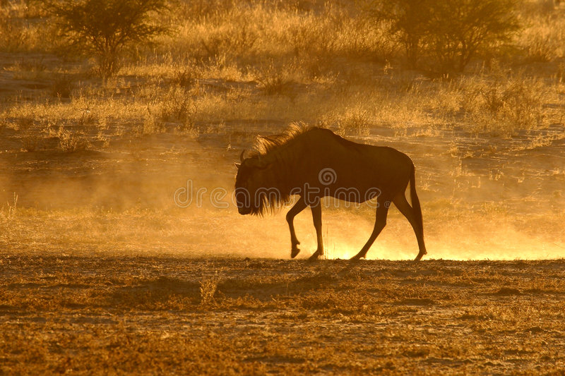 Download Blue wildebeest stock image. Image of horns, body, desert - 602149