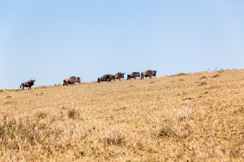 Blue Wildebeest Animals Wildlife Terrain Royalty Free Stock Image