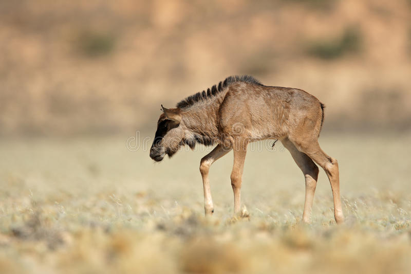 Download Blue wildebeest calf stock photo. Image of newborn, south - 26193612