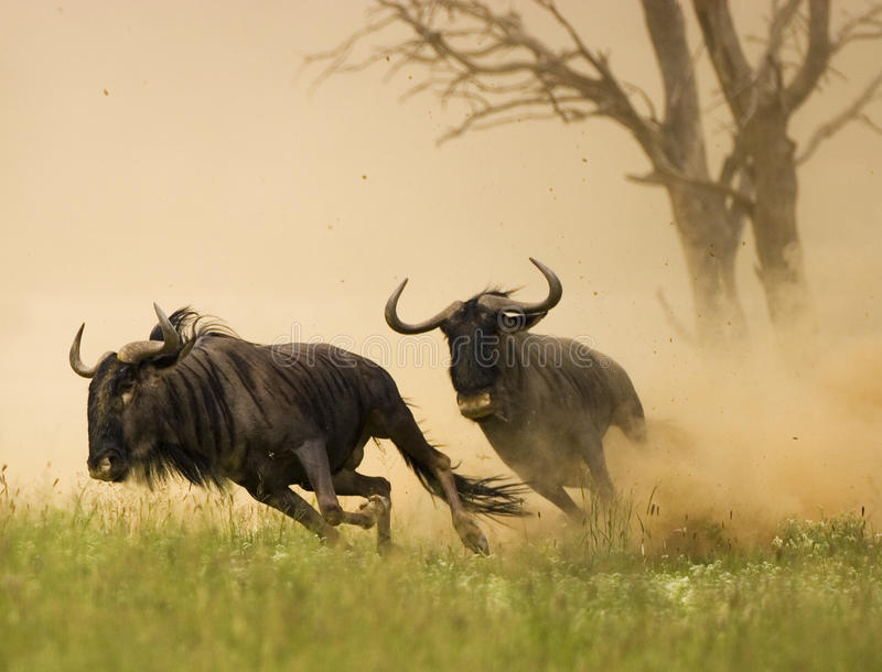 Blue Wildebeest Chase stock images