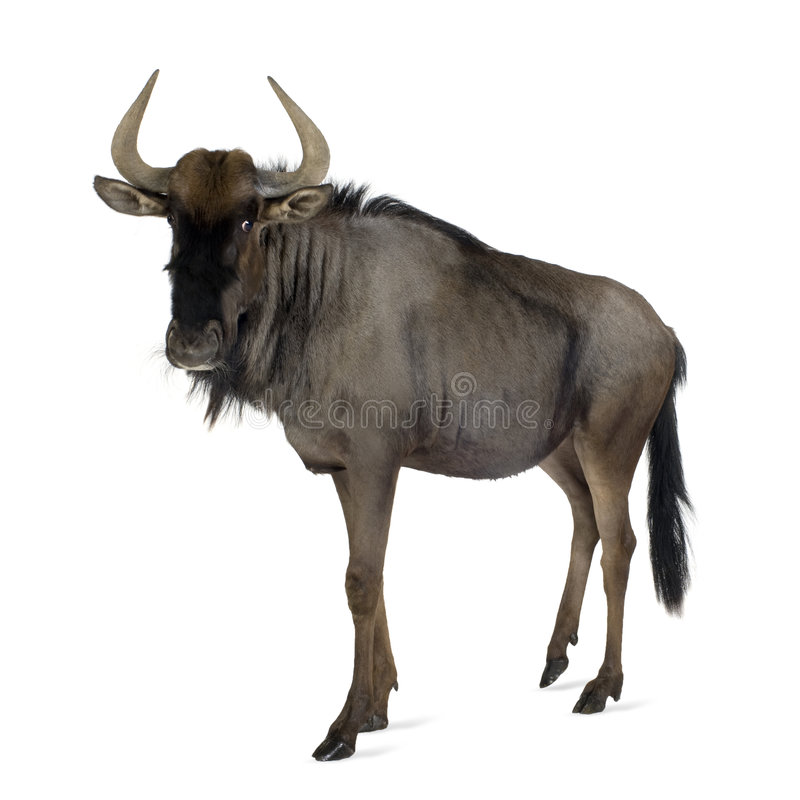 Free Blue Wildebeest - Connochaetes Taurinus Royalty Free Stock Images - 4248099