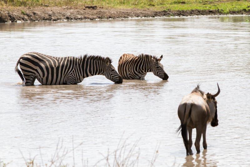 Blue wildebeest and zebras drinking water stock photos