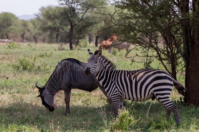 Blue wildebeest and zebras n the Tarangire National Park, Tanzania. Blue wildebeest Connochaetes taurinus, also called the common wildebeest, white-bearded stock images