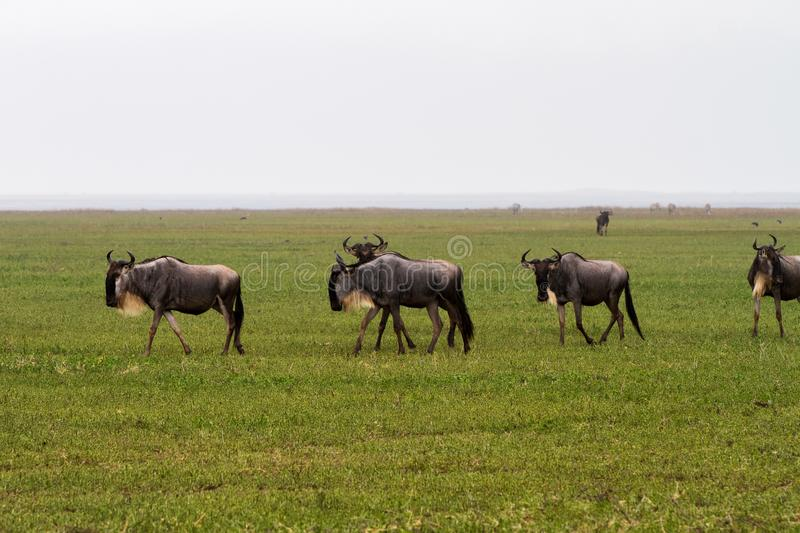 Blue wildebeest running in Ngorongoro Conservation Area NCA stock images
