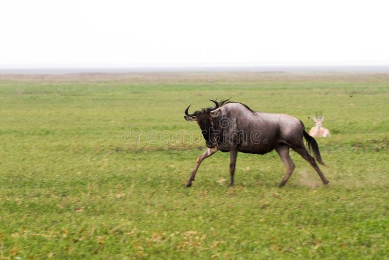 Blue wildebeest running in Ngorongoro Conservation Area NCA royalty free stock photo