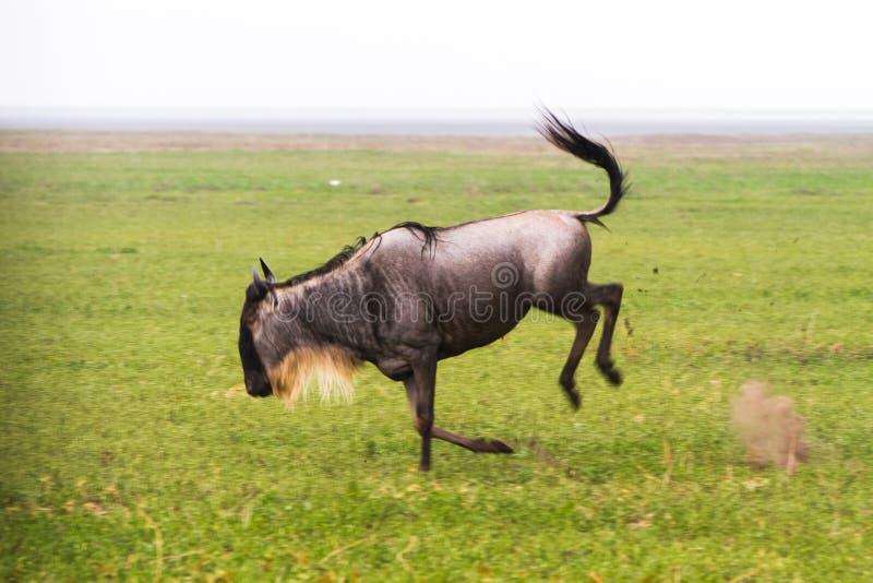 Blue wildebeest running in Ngorongoro Conservation Area NCA royalty free stock photos