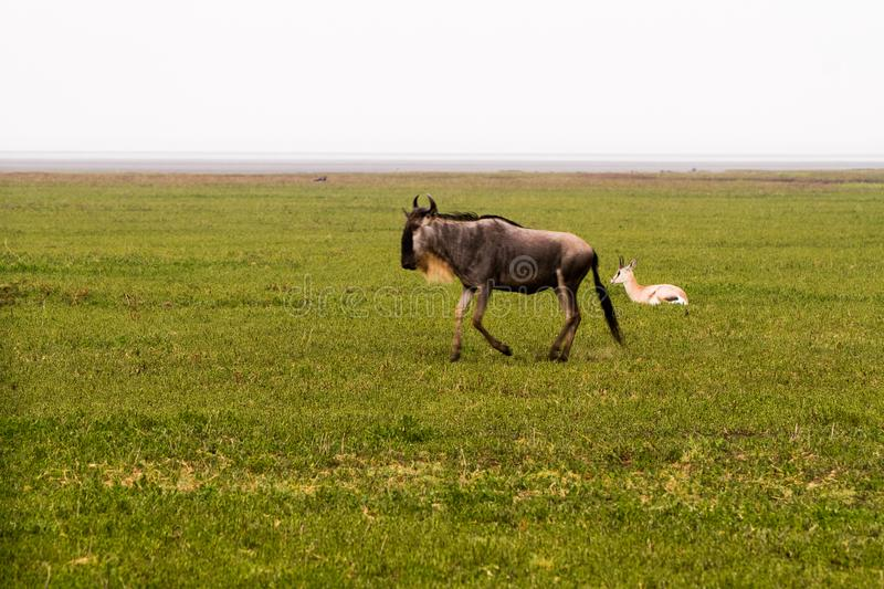 Blue wildebeest running in Ngorongoro Conservation Area NCA royalty free stock photography
