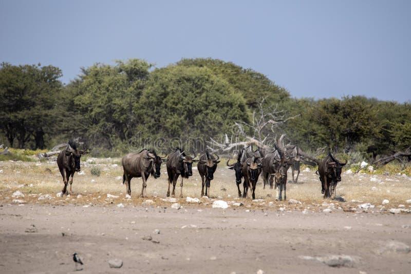Blue Wildebeest Connochaetes taurinus, goes to waterhole, Etosha National Park, Namibia. Hert Blue Wildebeest Connochaetes taurinus, goes to waterhole, Etosha stock image