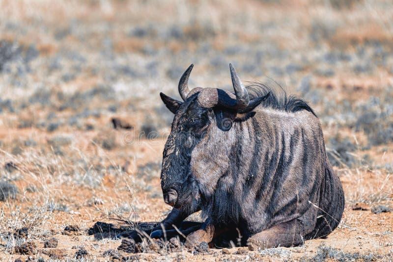 Blue Wildebeest Gnu, Pilanesberg Africa wildlife safari. Wild Blue Wildebeest Gnu resting in Pilanesberg National park, South Africa wildlife safari. Animal in stock photos