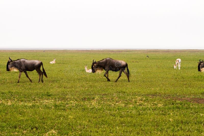 Blue wildebeest running in Ngorongoro Conservation Area NCA stock photography