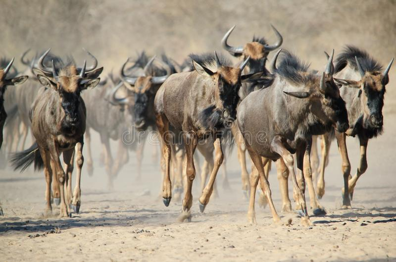 Download Blue Wildebeest - Wildlife From Africa - Stampede Of Hoof And Dust Stock Image - Image: 32537709