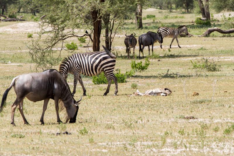 Blue wildebeest and zebras in the field. Blue wildebeest Connochaetes taurinus, also called the common wildebeest, white-bearded wildebeest or brindled gnu stock images