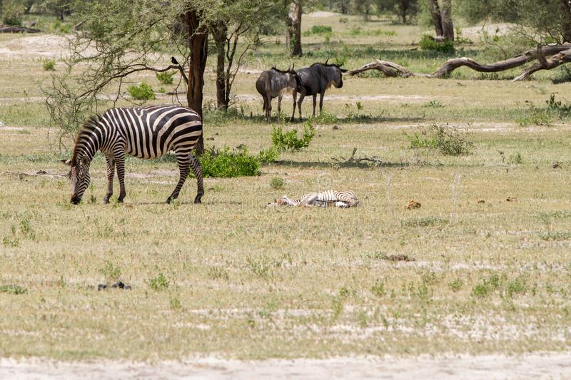 Blue wildebeest and zebras in the field. Blue wildebeest Connochaetes taurinus, also called the common wildebeest, white-bearded wildebeest or brindled gnu stock photography