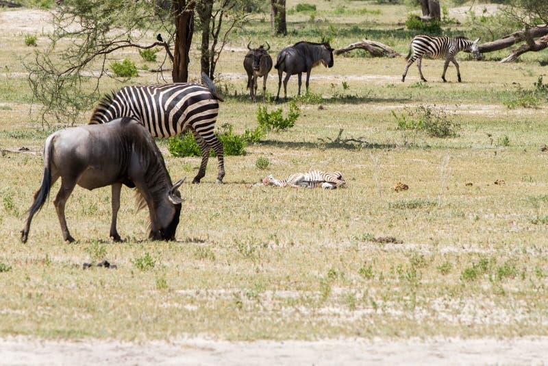 Blue wildebeest and zebras in the field. Blue wildebeest Connochaetes taurinus, also called the common wildebeest, white-bearded wildebeest or brindled gnu stock photo