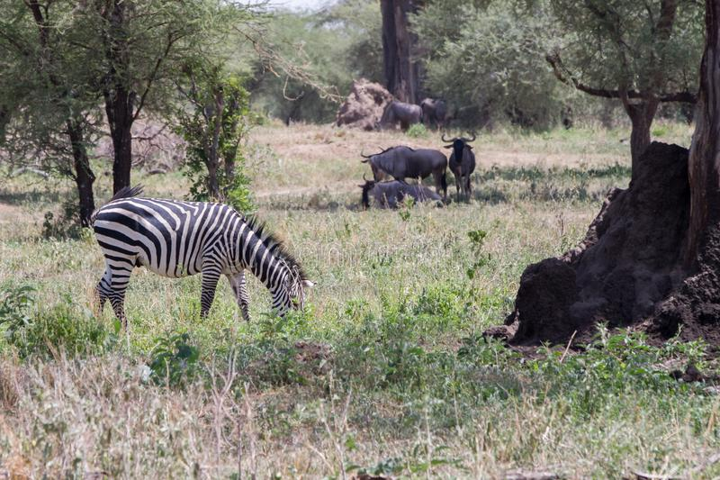 Blue wildebeest and zebras in the field. Blue wildebeest Connochaetes taurinus, also called the common wildebeest, white-bearded wildebeest or brindled gnu royalty free stock image