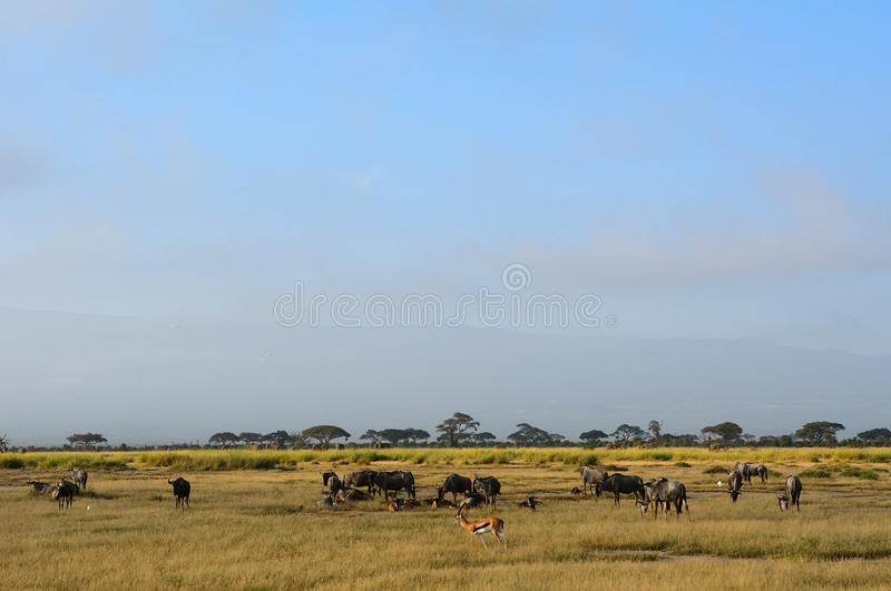 Blue wildebeests and Thomson-gazelles, Amboseli National Park, K. Blue wildebeests and Thomson-gazelles in Amboseli National Park, Kenya royalty free stock photos