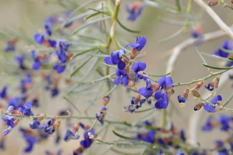 Blue Wildflowers in Full Bloom on Desert Floor. Field of Blue Wildflowers in Full Bloom on Desert Floor in Borrego Springs California royalty free stock image