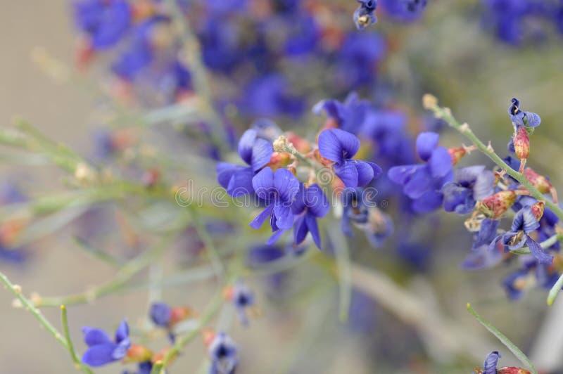 Blue Wildflowers in Full Bloom on Desert Floor. Field of Blue Wildflowers in Full Bloom on Desert Floor in Borrego Springs California stock images
