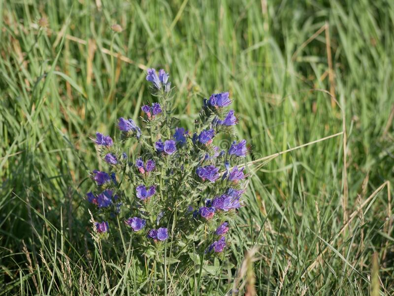 Blue wildflowers grow in a meadow among green grass on a Sunny summer day. Viper`s bugloss on the field. Light fragrance. stock photos
